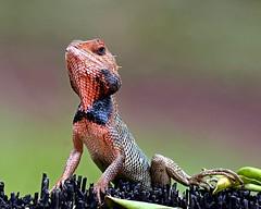 I am the boss!  (18/11/2018) (jeanmarie.gradot) Tags: calotes versicolor agame lizard garden oriental d7100 nikon