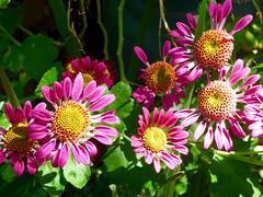 Mums (M.P.N.texan) Tags: mum mums flower flowers flowering bloom blooms blooming plant chrysanthemum