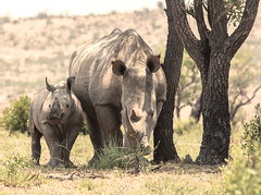 rhino (mv.exe) Tags: rhino rhinoceros big5 safari southafrica africa whiterhino