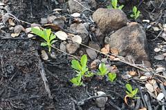 Dodonaea viscosa regeneration after the Mauna Loa Strip Road fire (J. B. Friday) Tags: hawaiivolcanoesnationalpark maunaloa wildfire dodonaea dodonaeaviscosa sapindaceae