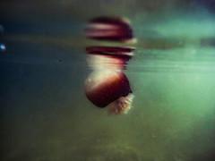 Surfacing (3rd-Rate Photography) Tags: cannonballjellyfish cabbageheadjellyfish jellyfish stomolophusmeleagris seajellies animal nature water stjohnsriver marinelife sealife gopro gopro4 jacksonville florida 3rdratephotography earlware 365