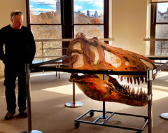 """JAWS' in Astor Turret (JFGryphon) Tags: americanmuseumofnaturalhistory saurischiandinosaurs hallofsaurischiandinosaurs plumbingaccident trexskull astorturret tyrannosaurusskull tyrannosaurus skull jaws timeusaurus"