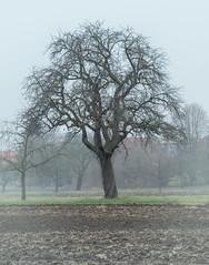 Alter Birnenbaum (KaAuenwasser) Tags: alt birnenbaum birne baum bäume obstbaum obst pflanze holz stamm ast äste zeige winter kahl feld acker erde natur wiese
