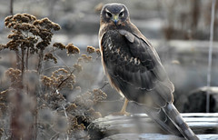 The stare (Snixy_85) Tags: harrier northernharrier circushudsonius