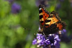 Kleiner Fuchs / Small Tortoiseshell (Aglais urticae) (uwe125) Tags: tier insekt schmetterling animal insect butterfly kleiner fuchs small tortoiseshell blüte nektar nectar lavender blossom