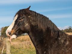 Horse play (Maria-H) Tags: horse glossop highpeak derbyshire uk olympus omdem1markii panasonic 1235