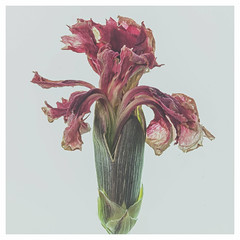pink botanical (Tracy Metz) Tags: botanical pink macro macrophotography floral flower