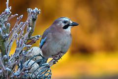 DSC_7916 Geai (sylvettet) Tags: animal oiseau jay geai grandfroid branches givre soleil bird contrejour 2019