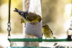 BackyardBirds_1-21-19-29 (RobBixbyPhotography) Tags: florida goldfinch jacksonville backyard birds