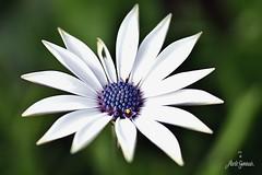 DSC_1503_00001 (Paolo Gennari) Tags: fiori macro
