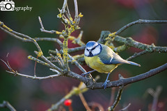 Blue Tit in the Berries (Mike House Photography) Tags: garden bird ornithology tit tits small birdie passerine tree branch bush twig berries feeding standing waiting wings beak feathers tail blue green red brown white black feet legs leaves lichen