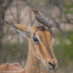 Heads, you win! (Duncan Blackburn) Tags: 2018 impala kruger oxpecker redbilled southafrica antelope bird mammal nikon nature wildlife