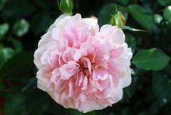Dir, Jesu, geben wir das Lob (amras_de) Tags: rose rosen ruža rosa ruže rozo roos arrosa ruusut rós rózsa rože rozes rozen roser róza trandafir vrtnica rossläktet gül blüte blume flor cvijet kvet blomst flower floro õis lore kukka fleur bláth virág blóm fiore flos žiedas zieds bloem blome kwiat floare ciuri flouer cvet blomma çiçek