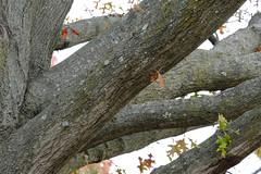 Autumn Old And New (Modkuse) Tags: nopostprocessing autumn autumnleaves fall fallcolors leaves oak oaktree oakleaves nature natural tree art artphotography photoart fineartphotography fineart fujifilm fujifilmxt2 xt2 xf55200mmf3548rlmois fujinon fujinonxf55200mmf3548rlmois