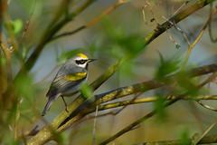 Golden-einged Warbler Explored#4 (jonathanirons28) Tags: goldenwingedwarbler sussexco newjersey wsb may 2018 northernbreeders yearofthebird gwwa endangered nikon d500