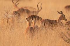 Impalas at Lebombo (Kruger NP) - South Africa (lotusblancphotography) Tags: africa afrique southafrica nature faune wildlife animal impala safari