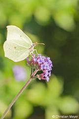 2011.07.01 - 0362 - Citron Jardin de Caradec © (chmeyer51) Tags: insecte papillon citron lépidoptère pieridae coliadinae gonepteryxrhamni