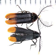Psilocladus2018-11-26camp_4299c (mcclarinj) Tags: psilocladus lampyridae cosanga napo ecuador jimmcclarin