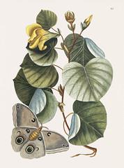 Mano Tree (Ketmia) from The natural history of Carolina, Florida, and the Bahama Islands (1754) by Mark Catesby (1683-1749).