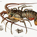 European Lobster vintage poster