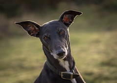 woody 💜 (Emma Varley) Tags: dog pet woody backlight winter sunshine handsome garden lurcher black white portrait hurryupandtakethatphoto