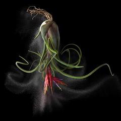 Tillandsia Air Plant (Pixel Fusion) Tags: flower flora aperture nature nikon macro tillandsia d600 photoshop