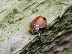 Larch Ladybird, Miltonrigg Wood, 15 January 19 (gillean55) Tags: canon powershot sx60 hs superzoom bridge camera north cumbria brampton miltonriggwood coleoptera coccinellidae larchladybird aphidectaobliterata