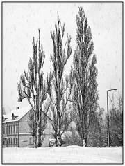 Winter in Saxony (unukorno) Tags: freiberg winter snow schnee bw sw blackwhite frame monochrome poplars pappeln bäume trees snowfall schneefall sachsen deutschland landscape