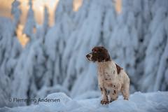 snow boy (The Papa'razzi of dogs) Tags: outdoor zigzag nature cocker dog snow pet animal prostředníbečva zlínregion czechrepublic cz
