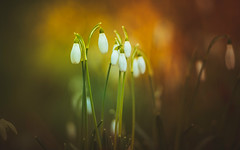 Early Spring Snowdrops (Dhina A) Tags: sony a7rii ilce7rm2 a7r2 a7r jupiter 135mm f35 jupiter37a135mmf35 12blades 37a prime m42 jupiter37a early spring snowdrops