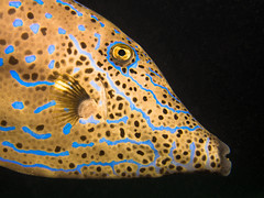 Battlescarred Filefish (Stefan Kruse) Tags: scuba diving uw uwphotography closeup colours yellow eye underwater nightdive night redsea reef marsashagra egypt olympus fish scribbledleatherjacket filefish