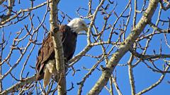 Riverbend Eagle (shesnuckinfuts) Tags: americanbaldeagle baldeagle haliaeetusleucocephalus riverbendeagles kentwa shesnuckinfuts january2019 nature wildlife eagle bird raptor birdofprey
