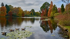 Birds Of A Feather (Geoff Fagan) Tags: sheffieldpark sheffieldparkautumn lake reflection reflections birds geese water waterside trees autumn colours ripples nationaltrust eastsussex bank lilypad sony sonyalpha ilce7rm2 a7rm2