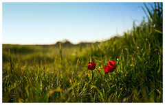 Poppy&Poppy (busitskee) Tags: poppy flower goldenhour canon canon6d nature outdoor wild plants plant green red
