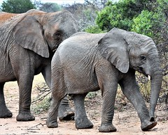 Two of a kind. (pstone646) Tags: elephants nature africa wildlife fauna pachiderms family southafrica safari mammal animals bigfive