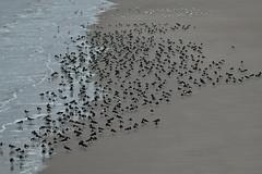 Oystercatchers. (Albie n Glo) Tags: birds oystercatchers newbrighton beach nature wildlife sea