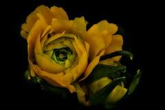 Look Around You And See (Christina's World!) Tags: ranunculus yellow garden gold flower nature naturallight plant stilllife petals blackbackground dark california sandiego usa newmasterclass fragiletouch kurtpeiser topclass