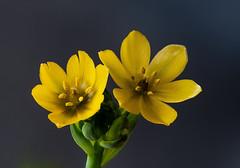 Gelber Milchstern (Gerhard Menzel) Tags: nature natur nikond850 macro makro stack helicon plants pflanzen blüten flower gelbermilchstern sunstar ornithogalumdubium
