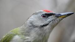 Grey-headed Woodpecker ♂ (Picus canus) (eerokiuru) Tags: greyheadedwoodpecker picuscanus grauspecht hallpearähn woodpecker bird closeup portrait p900 nikoncoolpixp900