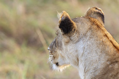 Big Cats on the Mara (johnrobjones) Tags: beyond animal animals cnp cnpsafaris kenya kichwatemba mara masai masaimara safari africa mammals nature wildlife lion lioness