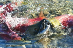 End of Life (bonniecairns1) Tags: animalphotography fish naturephotography bonniecairns wild wildlifephotography nikonphotography canada britishcolumbia salmon naturelover nature river amazing