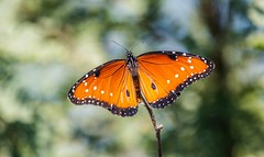 Freshly minted (Photosuze) Tags: butterflies insects queens bugs animals nature wildlife perched danausgilippus