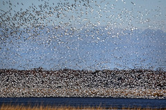 Snow Geese arriving at Bombay Hook NWR.....6O3A7513A (dklaughman) Tags: snowgeese geese bombayhooknwr delaware bif