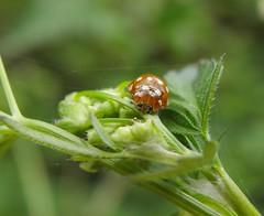 Photo of Calvia quatuordecimguttata
