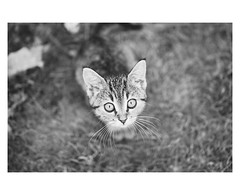 Macha (Roxo15) Tags: vsco bokeh chat animaux film00 appareilphoto sonyrx1r sotrix⁺³ cat sony 2016 rx1r nb francarville