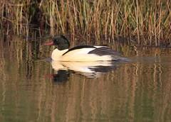 Goosander (Mergus merganser) (Bathgate Wildlife) Tags: bathgate wildlife nature bird mergusmerganser leyland ponds west lothian scotland male