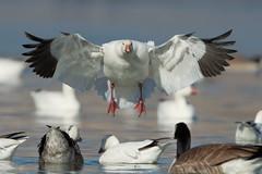 Wheels Down Ready for Landing (Amy Hudechek Photography) Tags: snow goose landing lake colorado amyhudechek wildlife nature bird winter december