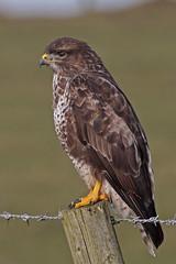 Buzzard (Chris B@rlow) Tags: buteo buteobuteo buzzard commonbuzzard birdofprey scotland nature wildlife outdoors canon sigma150600sport bird birds