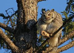Great Horned Owl...#5 (Guy Lichter Photography - 4.4M views Thank you) Tags: canon 5d3 canada manitoba winnipeg wildlife animals bird birds owl owls greathornedowl