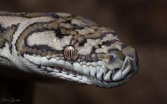 Coastal Carpet Python (Morelia spilota mcdowelli) (elliotbudd) Tags: coastal carpet python morelia spilota mcdowelli elliot budd townsville qld queensland pythonidae snake